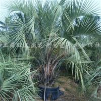 供应布迪椰子地栽苗