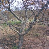 出售石榴树