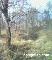 出售刺槐树