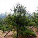供应绿化用油松