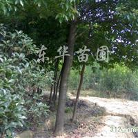供应2-20CM香樟