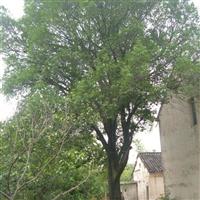 供应冬青树
