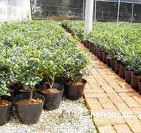 供盆栽茶梅、红花继木工程苗