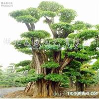 供应以雄厚的资源提供对节白蜡、三角枫等景观树及盆景!