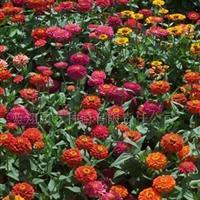 供应一二年生花卉