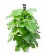 长期供应绿萝、蔓绿绒、常春藤