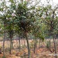 供应园林绿化苗