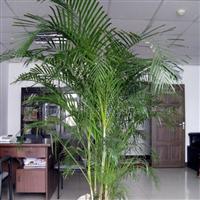 供应观叶植物-散尾葵