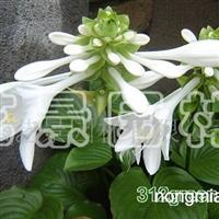 供应玉簪(白花)