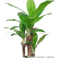 供应芭蕉树.仿真芭蕉树.人造芭蕉树.仿真植物