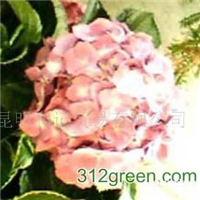 供应斗南花卉紫红绣球