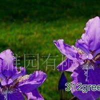 供应千头菊,鸡冠花,一串红,孔雀草,矮牵牛,彩叶草