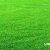 供应百慕大黑麦草混播草坪