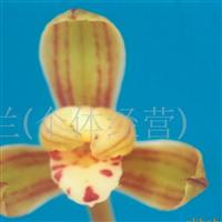 供应兰花(观山梅)