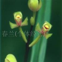 供应兰花(夏红梅)