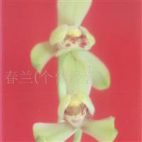 供应兰花(梅瓣)