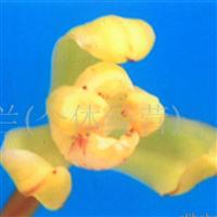 供应兰花(夏草梅瓣)