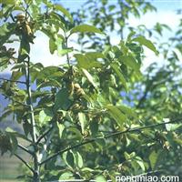 供应优质翅果油树树苗