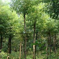 10-20公分香樟树,骨架香樟