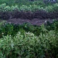 供应丹桂苗,2-8公分丹桂