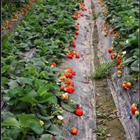 美香莎草莓苗 美香莎草莓苗品种