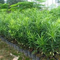 供应罗汉松树苗,台湾罗汉松树苗