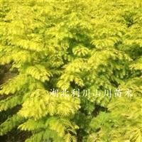 金叶水杉苗、金叶水杉批发