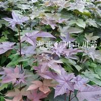 枫香小苗、五角枫、鸡爪槭
