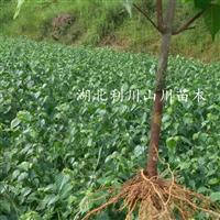湖北利川豆腐树苗、食用豆腐树叶