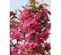 海棠苗,皇家雨点苗,紫色王子苗