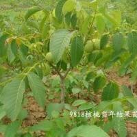 山西核桃苗山西运城绛县中杨村鑫源苗木