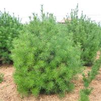 3.5米一�白皮松精品苗木