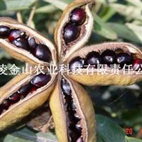 木本油料 油用牡丹种苗