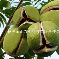 生物柴油树种 文冠果种苗