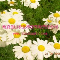 除虫菊种苗