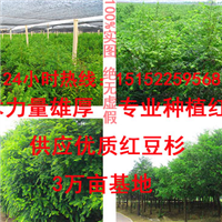 常年批发红豆杉苗木造型盆景苗