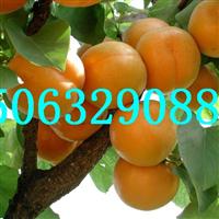 杏苗,杏树苗基地,品种纯价格低