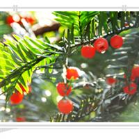 优质红豆杉小苗