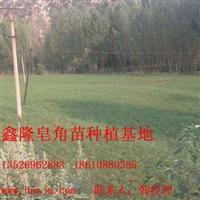 鑫隆皂角基地供��大量皂角苗