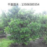 桔子树产地 供应浙江桔子树
