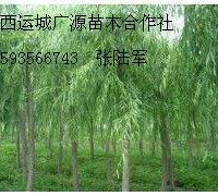 8公分垂柳金丝柳各种柳树出售