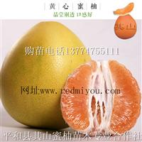 橙皮黄肉蜜柚苗批发