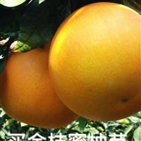 金橙蜜柚苗供应