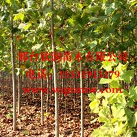 欣润苗木大量供应法桐  1公分