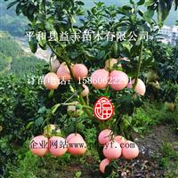 福建三红蜜柚苗供应