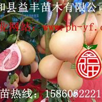 福建三红蜜柚苗批发