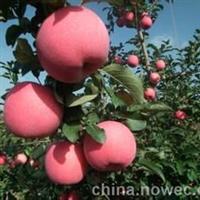 矮化苹果苗,烟富8苹果苗