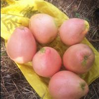平和三红蜜柚苗出售