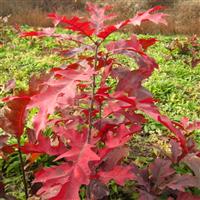 供应猩红栎