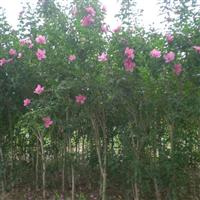 供应3-5公分木槿